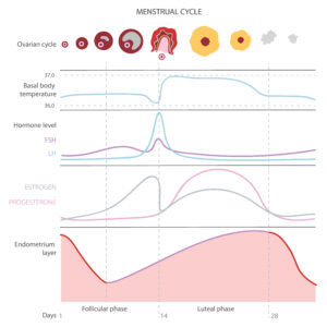 Overblik over menstruationscyklussen