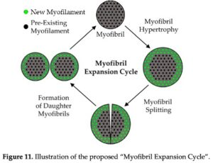 myofibril expansion cycle
