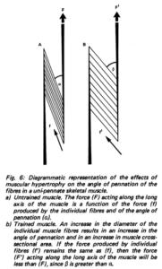 Grafisk forklaring af pennationsvinkel